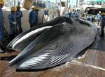 Balene giapponesi